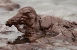 BP oil_spill_birds_01
